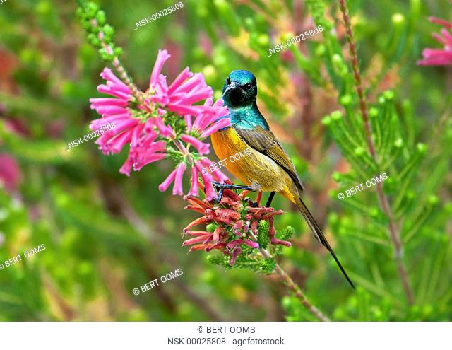 Orange-breasted Sunbird (Anthobaphes violacea) male foraging on flowers of Ruby Lace (Erica verticillata), South Africa, Western Cape, Cape Town
