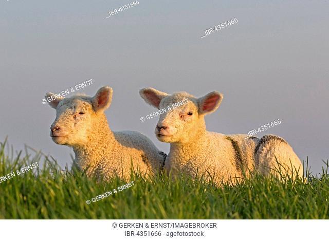 Sheep, lambs, Westerheversand, Westerhever, Eiderstedt, North Frisia, Schleswig-Holstein, Northern Germany, Germany