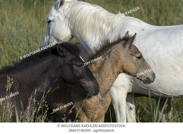 Camargue horse foals in the Camargue in southern France