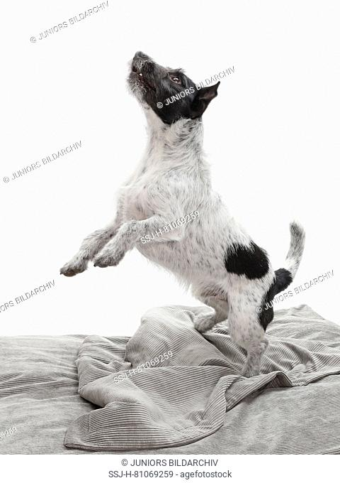 Jack Russell Terrier. Adult dog (2 years old) standing upright on a gray blanket. Germany