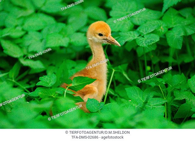 young red-crowned crane