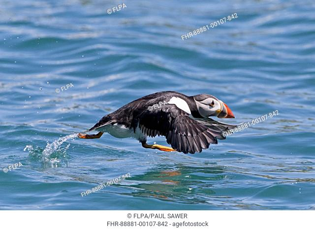 Atlantic Puffin (Fratercula arctica) adult, summer plumage, running across water to take flight, Skomer Island, Pembrokeshire, Wales, may