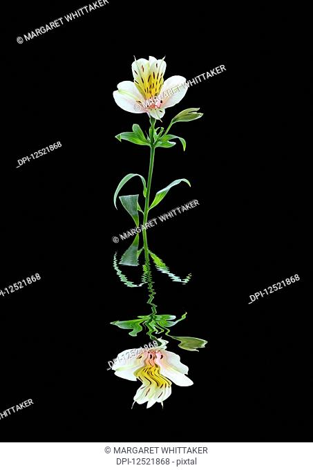 Art image of a flower Alstroemeria reflected in water