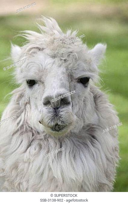 Close-up of an alpaca Lama pacos, Peru