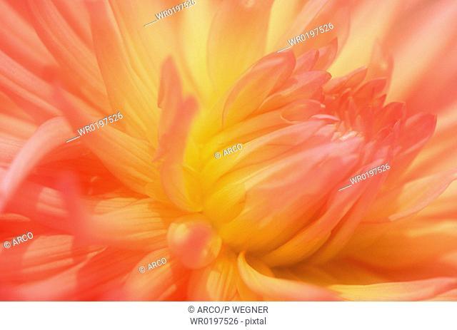 Dahlia, blossom, detail,Dahlia, spec