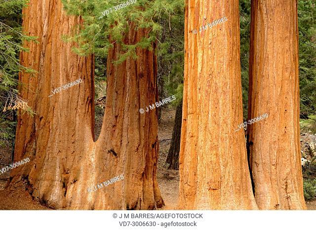 Giant sequoia or giant redwood (Sequoiadendron giganteum) is a big tree native to Sierra Nevada, California, USA. This photo was taken in Sequoia National Park