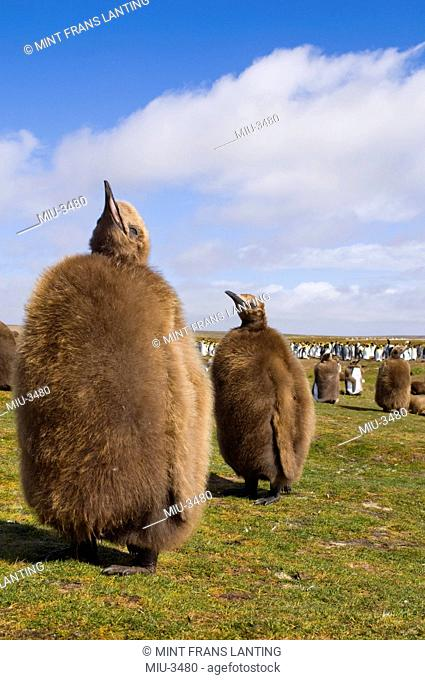King penguin chicks, Aptenodytes patagonicus, Falkland Islands