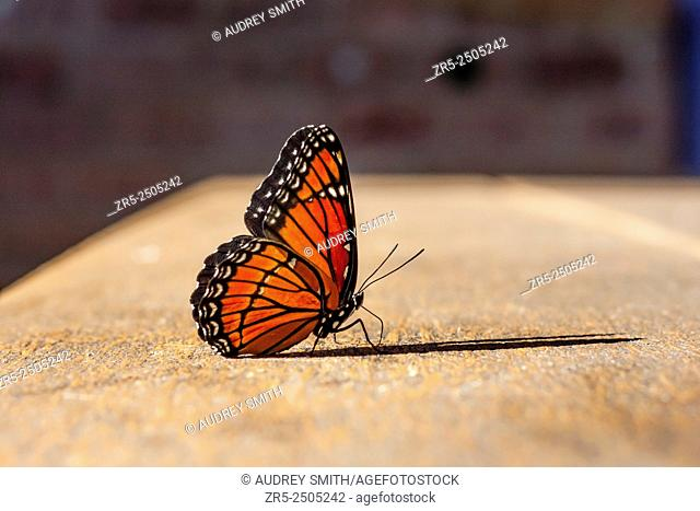 A monarch butterfly (Danaus plexippus) casts a shadow on an outdoor table; Florida, USA