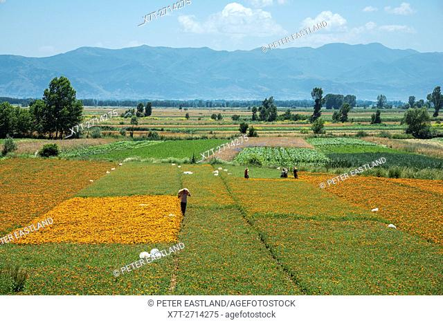 Harvesting marigold flower heads (Calendula officinalis). A crop grown for the pharmaceutical industry; near Korca, in southeastern Albania,