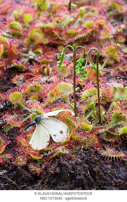 Deadly danger in swamp - Large White Butterfly Pieris brassicae caught in Round Leaved Sundew Drosera rotundifolia - Bavaria/Germany