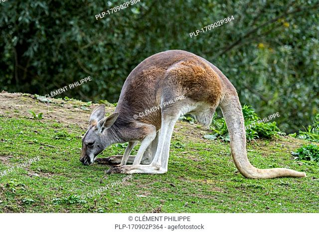 Red kangaroo (Macropus rufus) female eating grass, native to Australia
