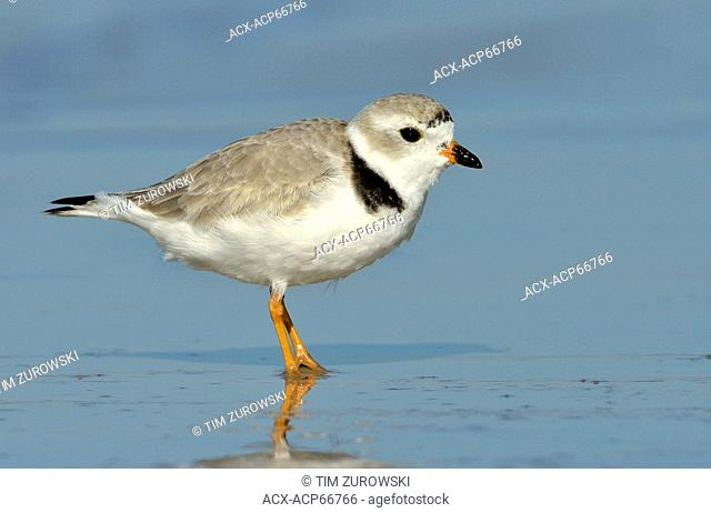 Piping Plover (Charadrius melodus) - Fort Myers Beach, Florida