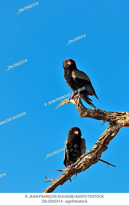 Two Bateleur eagles (Terathopius ecaudatus), perched on a dead branch, Kgalagadi Transfrontier Park, Northern Cape, South Africa, Africa