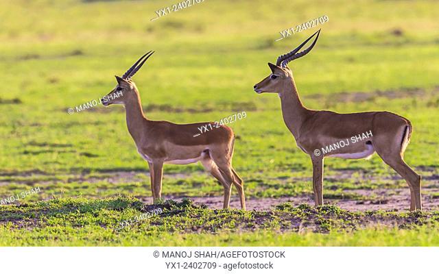 Male impalas - On the lookout - Masai Mara National Reserve, Kenya