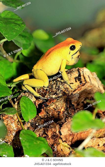 Black Legged Dart Frog, (Phyllobates bicolor), adult, alert, South America