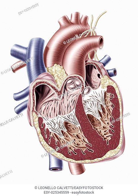 Human heart cross section, with detailed internal structure. 2 D digital illustration, graphic version, on white background, with clipping path