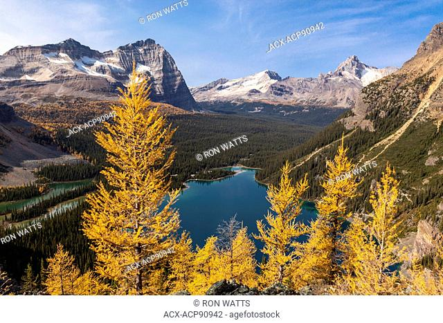 Alpine larch ( Larix lyallii) display their fall color overlooking Lake O'Hara in Yoho National Park, British Columbia Canada