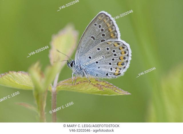 Idas Blue, Plebejus idas on blackberry bramble