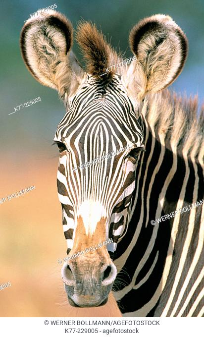 Grevy's Zebra (Equus grevyi). Samburu National Reserve. Kenya