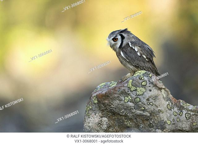 Southern White-faced Owl ( Ptilopsis granti ), perched on a rock, exotic species, colourful, Botswana
