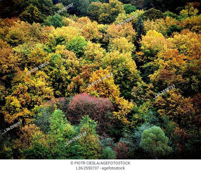 Autumn trees. Bieszczady mountains. Poland