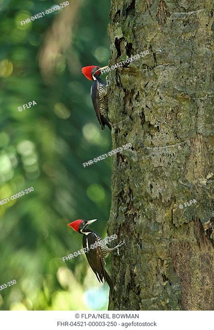 Lineated Woodpecker (Dryocopus lineatus similis) adult pair, clinging to tree trunk, Lancetilla Botanical Gardens, Honduras, February