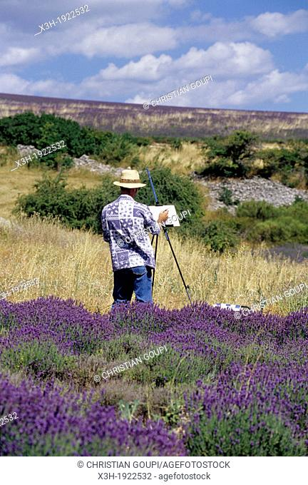 painter in lavender field around Ferrassieres, Drome department, region of Rhone-Alpes, France, Europe