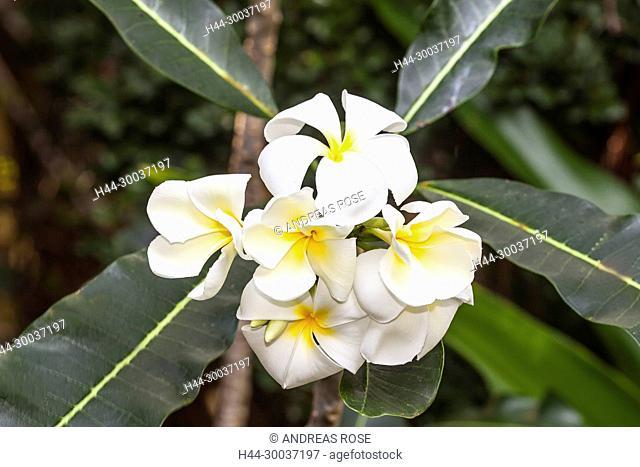 Frangipani (Plumeria obtusa)Pflanze, Vietnam, Asien