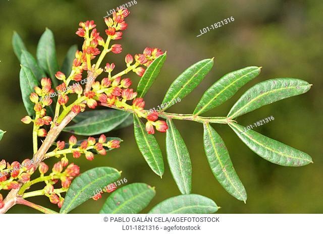 Pistacia lentiscus, flowers & leaves