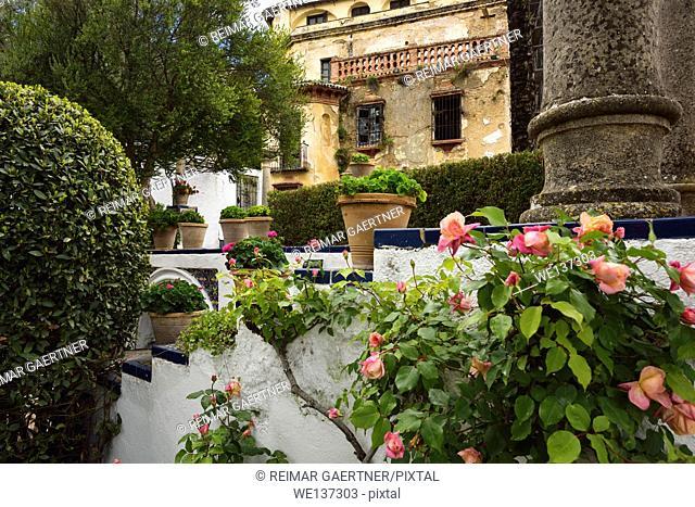 Rose bush in Forestier garden of crumbling Moorish Kings house in Ronda Spain