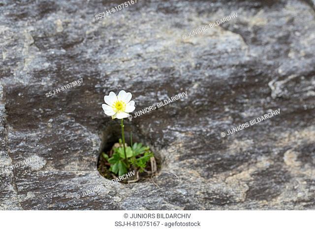 Alpine Buttercup (Ranunculus alpestris), flowering plant. Hohe Tauern National Park, Carinthia, Austria