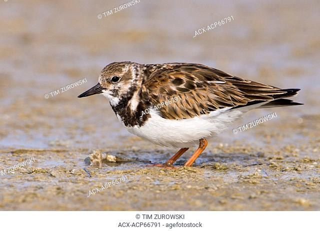 Ruddy Turnstone (Arenaria interpres) - Fort Desoto State Park, Florida