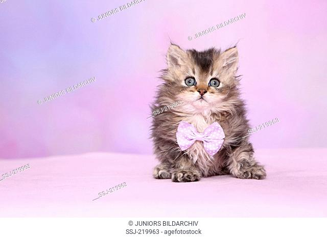 Selkirk Rex. Kitten (6 weeks old) lying, wearing pink bow-tie with white polka dots. Studio picture against a pink background