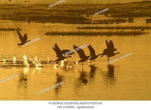Canada geese at sunrise at Eagle Marsh, Ankeny National Wildlife Refuge, Oregon