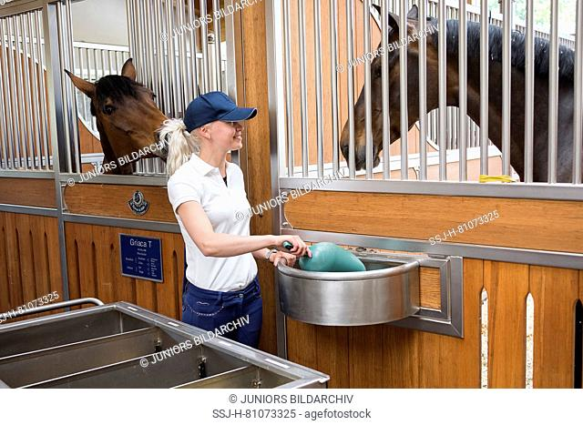 Warmblood Horse. Groom feeding horse in a stable. Germany