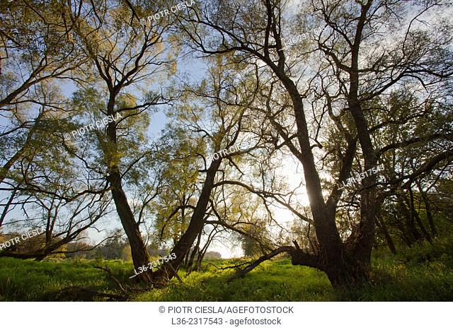 Willow grove, Podlasie region, Poland