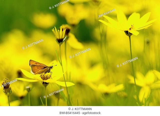 skippers (Hesperiidae), on tickseed, side view, Germany