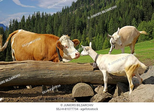 A red Hostein cow and two Saanen goats meeting each other at a salt lick, sniffing at each other. Dolomites, South Tyrol, Italy