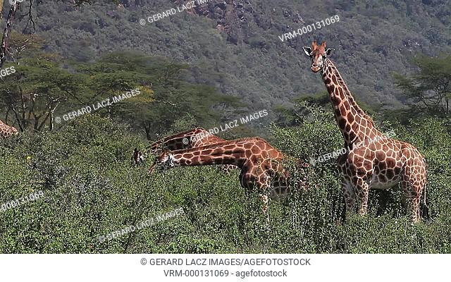Rothschild's Giraffe, giraffa camelopardalis rothschildi, Herd eating Bush, Nakuru Park in Kenya, Real Time