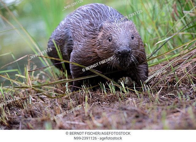 Beaver (Castor fiber) on a river bank, Bavaria, Germany