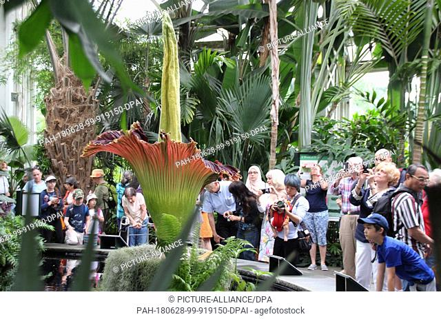 27 June 2018, USA, New York. Visitors admire the rare and smelly flower of a titan arum plant (Amorphophallus titanum) at the botannical garden in the Bronx