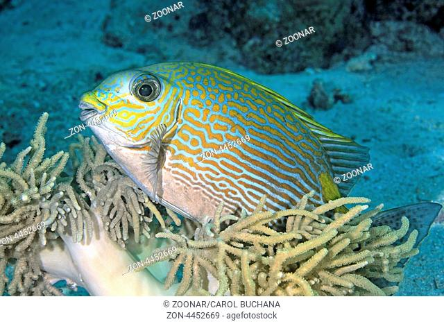 A Lined Rabbitfish, Siganus lineatus, rubbing its body on a soft coral. Also known as Golden-lined Spinefoot. Uepi, Solomon Islands