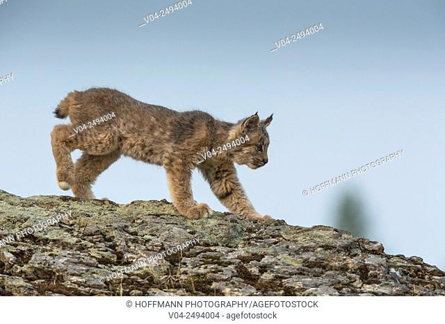 Cute little Canadian Lynx kitten (Lynx canadensis), captive, Montana, USA