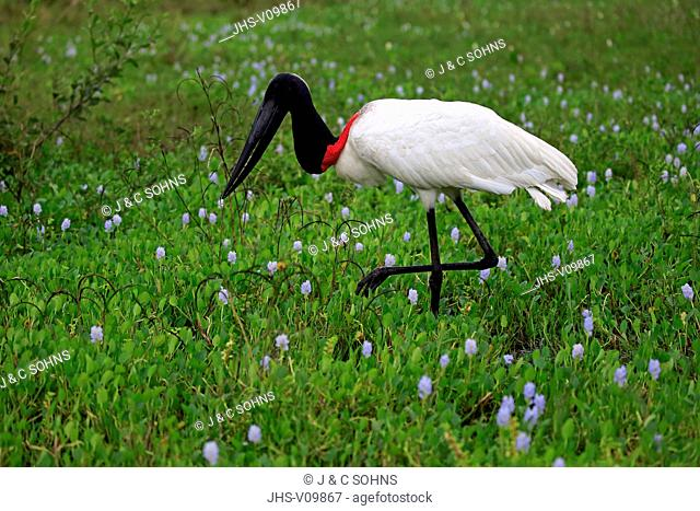 Jabiru, (Jabiru mycteria), adult on meadow searching for food, Pantanal, Mato Grosso, Brazil, South America