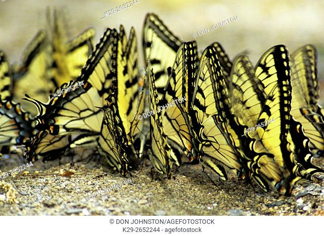 Tiger swallowtail (Papilio glauca) Puddling- attracted to minerals at edge of Deep Creek, Great Smoky Mountains National Park, TN, USA