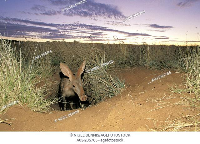Aardvark (Orycteropus afer), emerging from burrow at dusk. Tuissen de Riviere NR, Free State. South Africa