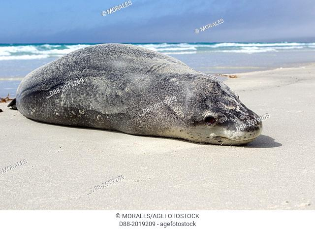Falkland Islands, Saunders island, Leopard Seal Hydrurga leptonyx on the beach