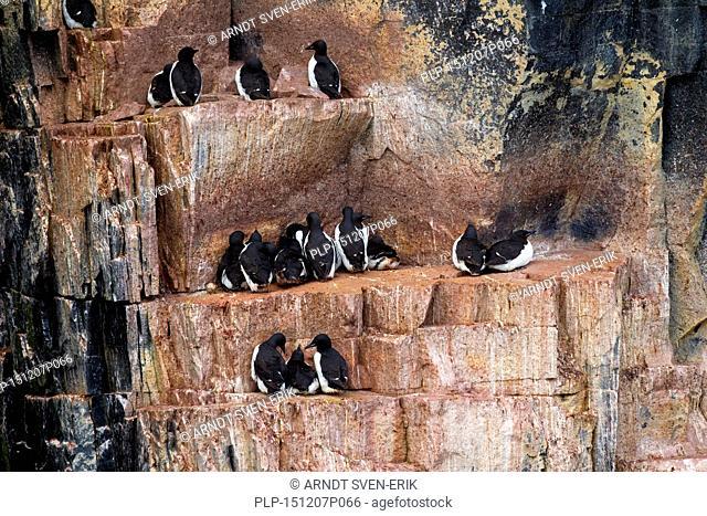 Thick-billed murres / Brünnich's guillemots (Uria lomvia) breeding on rock ledge of sea cliff in seabird colony, Alkefjellet, Hinlopenstreet, Svalbard, Norway