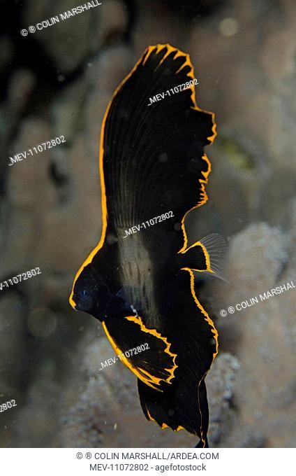 Juvenile Pinnate Spadefish with golden margin Pink Beach dive site, Padar Island, Komodo National Park, Indonesia . Juvenile Pinnate Spadefish