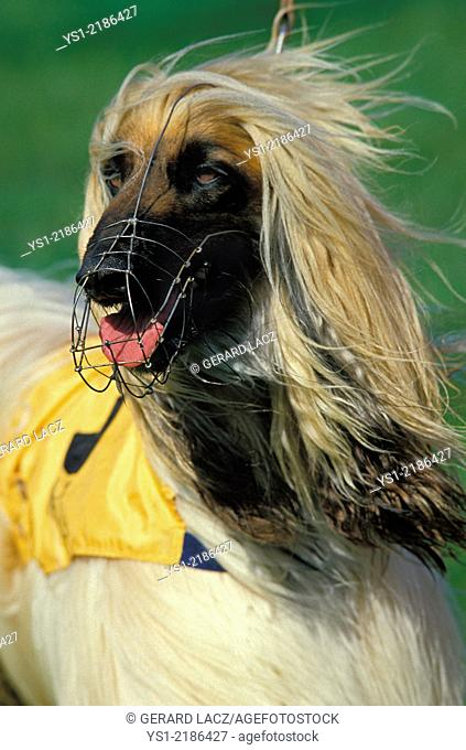 Portrait of Muzzled Afghan Hound